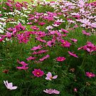 Dancing Cosmos - Preston Temple Grounds by Kathryn Jones