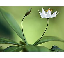 Starflower With New Bud Photographic Print