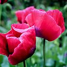 Red Poppies 1 by wallarooimages