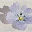 Linum Watercolour by John Edwards