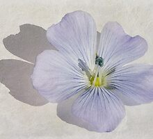 Linum Watercolour by John Edwards