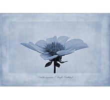 Dahlia coccinea cyanotype Photographic Print