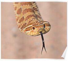 Hognose are epic Poster