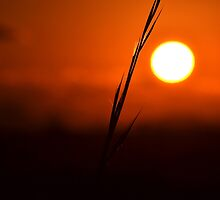 Silhouetted Blade of Grass by TomLEP