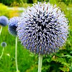 Blue Ball Flower by Eva  Ason