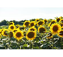 sunflowers field in a summer day Photographic Print