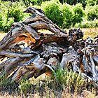 Deadwood on Cherry Creek Trail 4  by Robert Meyers-Lussier