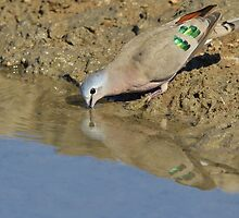 Emerald Spotted Dove - African Wild Bird Background - Reflection of Green and Blue by LivingWild