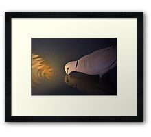 Cape Turtle Dove - African Wild Bird Background - Drinking Gold Framed Print