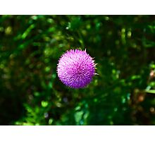 Pink Thistle Study 2  Photographic Print