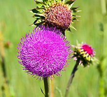 Pink Thistle Study 3  by Robert Meyers-Lussier