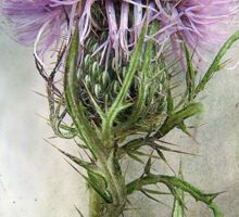 Spurred with many thorns ... Purple Thistle Sticker