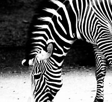 Quiet Zebra by tardigrada