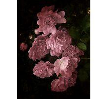 An Abundance of Roses Photographic Print