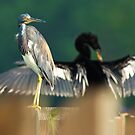 Heron with Anhinga in the background by imagetj