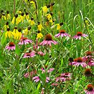 Coneflowers Pink & Yellow  by lorilee
