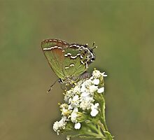 Juniper or Olive Hairstreak Butterfly - Callophrys gryneus by MotherNature