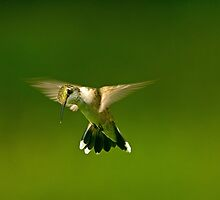 Mid Air Hummer by TJ Baccari Photography