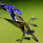 Hummingbird Closes Eye to Protect by imagetj