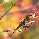 Autumn Yellow Rumped Warbler by K D Graves Photography