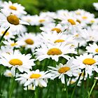 Daisy Days by Poete100