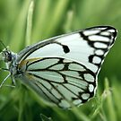 "The grass is my home... ""Brown-veined White butterfly"" (Belenois aurota) Free State, South Africa by Qnita"