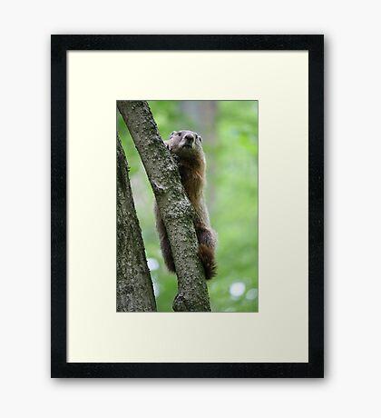 Groundhog in a Tree Framed Print