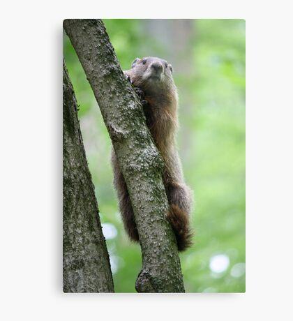 Groundhog in a Tree Metal Print
