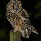 Long-Eared Owl (Asio otus) - I by Peter Wiggerman