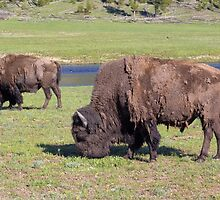 American Bison by yellocoyote