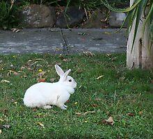 White Rabbit by Maggie Hegarty