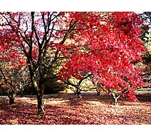 Japanese Maples in Autumn Photographic Print