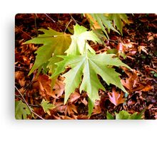 Acer leaves Canvas Print