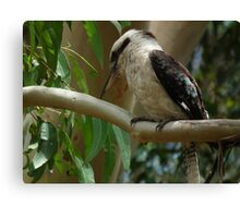 Kookaburra Sits in the Old Gum Tree Canvas Print