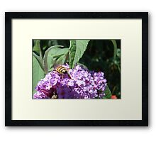 Excellent Detail Bee on Buddleia Framed Print