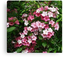 Spring Pinks - Carnival Wigelia 6 Canvas Print