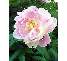 Spring Pinks - Raspberry Sorbet Peony 3 Photographic Print