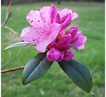 Welcoming Spring - Rhododendron 2 Photographic Print
