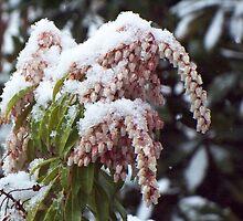 Cruel Spring - Pieris Japonica by WalnutHill