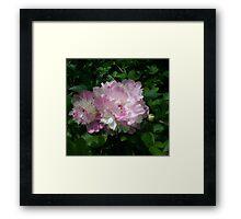 Spring Pinks - Raspberry Sorbet Peony 5 Framed Print