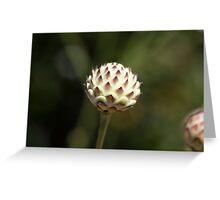 Cream pincushions  (Scabiosa ochroleuca) Greeting Card