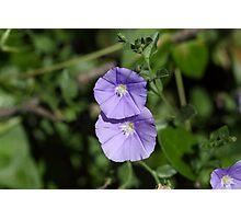 Flowers of a blue rock bindweed (Convolvulus sabatius) Photographic Print