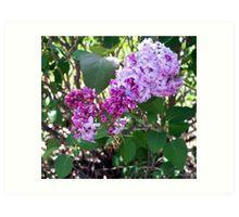 Lovely Lilac 7 Art Print