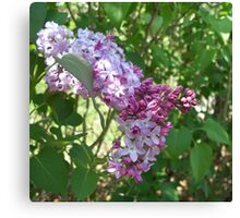Lovely Lilac 6 Canvas Print