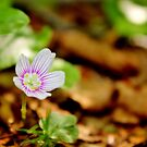 Mountain Woodsorrel by Kathleen M. Daley