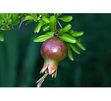 Green pomegranate fruit Photographic Print