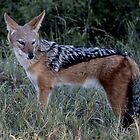 Blackbacked Jackal by Marylou Badeaux