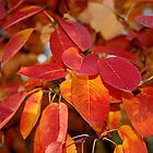 Glowing autumn serviceberry leaves by rvjames