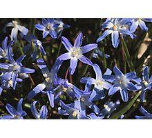 Chionodoxa luciliae blue Photographic Print