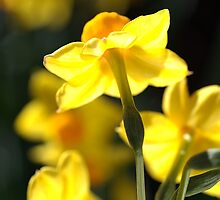 Glowing Lights - Jonquils by Joy Watson